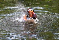 Mandarin Duck Splashing. In a pond Stock Photo
