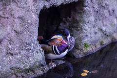Mandarin Duck. Standing close to the water - Scientific name: Aix galericulata Stock Image