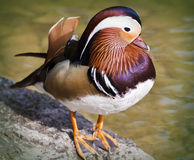 Mandarin duck standing on rock. Stock Photo