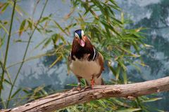 Mandarin Duck Stare stock photos