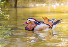 Mandarin duck swiming Royalty Free Stock Images