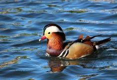Mandarin Duck. Swimming on a blue water at West side of Houma Louisiana Terrebonne Parish Royalty Free Stock Photography