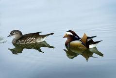Mandarin Duck swimming Royalty Free Stock Image