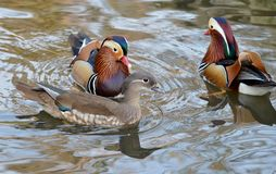 Mandarin duck swimming Royalty Free Stock Photography