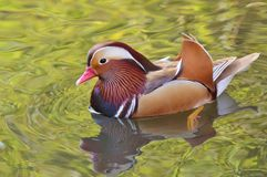 Mandarin duck swimming Royalty Free Stock Images