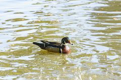 Mandarin duck swimming in a pond Royalty Free Stock Images