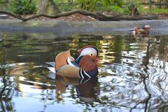 Mandarin Duck swimming on water. Close-up of colourful Mandarin Duck swimming on water Stock Photos