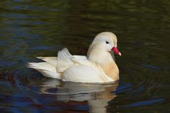 Mandarin duck swimming Stock Photo