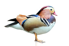 Mandarin Duck. Is mandarin symbol for love. usually use on valentine or marriage ceremony royalty free stock photo