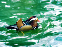 Mandarin duck in turquoise water Stock Images