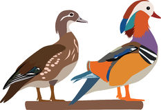 Mandarin duck vector. Colorful mandarin duck(Aix galericulata) couple vector vector illustration