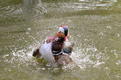 Mandarin Duck Stock Images