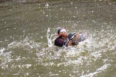 Mandarin Duck Stock Photography