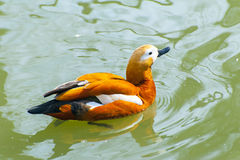 Mandarin duck in the water Royalty Free Stock Photos