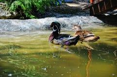 Mandarin duck at water Royalty Free Stock Photo