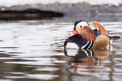 Mandarin duck on water Royalty Free Stock Photo