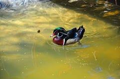 Mandarin duck at water Stock Images