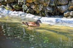 Mandarin duck at water Stock Photography