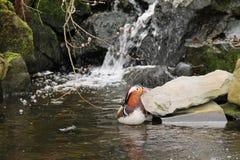 Mandarin duck on the wild brook Royalty Free Stock Photos