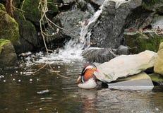 Mandarin duck on the wild brook Stock Photos
