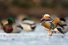 Mandarin duck in a winter park Stock Photos