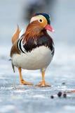Mandarin duck in a winter park Royalty Free Stock Photos