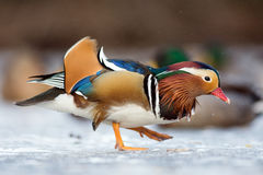 Mandarin duck in a winter park Stock Image