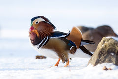Mandarin duck in a winter park Royalty Free Stock Images