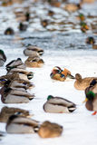 Mandarin duck in a winter park. Lonely mandarin duck in group of Mallard ducks resting on the frozen lake in a park Royalty Free Stock Photography