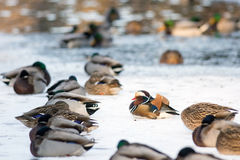 Mandarin duck in a winter park. Lonely mandarin duck in group of Mallard ducks resting on the frozen lake in a park Royalty Free Stock Photos
