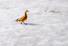 Mandarin duck on winter pond Royalty Free Stock Photo