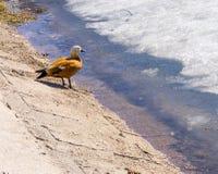 Mandarin duck on winter pond Stock Images