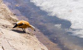 Mandarin duck on winter pond Royalty Free Stock Photos
