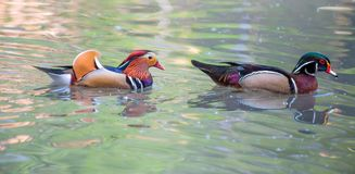Mandarin duck and wood duck portrait. Mandarin duck and wood duck Royalty Free Stock Photos