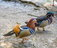 Mandarin duck and wood duck. Walking in the dust Royalty Free Stock Image