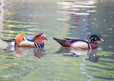 Mandarin duck and wood duck portrait. Mandarin duck and wood duck in the water Stock Images