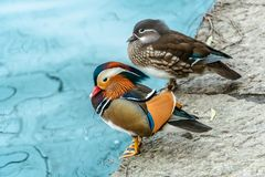 The mandarin duck yuanyang is a perching duck species found in East Asia, The mandarin, widely regarded as the world`s most stock photos