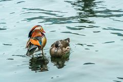The mandarin duck yuanyang is a perching duck species found in East Asia, The mandarin, widely regarded as the world`s most royalty free stock photos