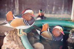Mandarin duck in the zoo stock photography