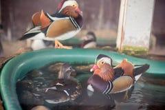 Mandarin duck in the zoo stock photo