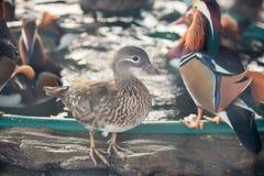Mandarin duck in the zoo stock image