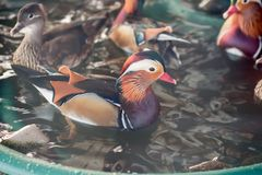 Mandarin duck in the zoo royalty free stock images