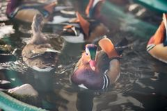 Mandarin duck in the zoo royalty free stock image