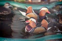 Mandarin duck in the zoo royalty free stock photo