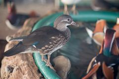 Mandarin duck in the zoo stock images
