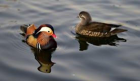 Mandarin Duckl Stock Photo