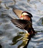 Mandarin Duckl Stock Image