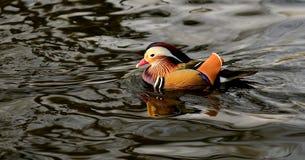 Mandarin Duckl Stock Photos