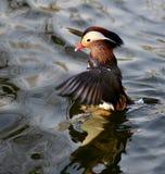 Mandarin Duckl Royalty Free Stock Photo
