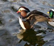 Mandarin Duckl Royalty Free Stock Photos